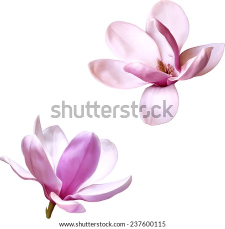 Vector Illustration of a magnolia flower isolated on white background - stock vector