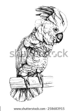 vector illustration of a parrot Cockatoo Moluccan - stock vector