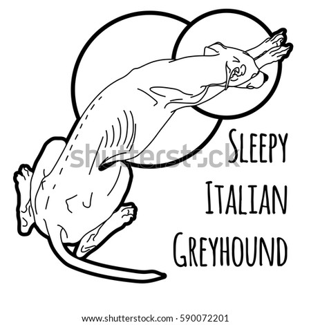 vector illustration of a sleeping italian greyhound without a collar