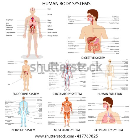 vector illustration of complete chart of different human organ system - stock vector