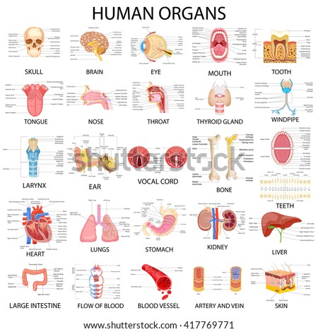 vector illustration of complete chart of different human organs - stock vector