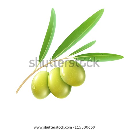 Vector illustration of detailed green olives with leaves on white background.