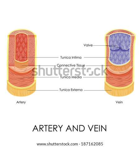 vector illustration of diagram of artery and vein - stock vector