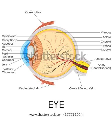 Vector illustration diagram human eye anatomy stock vector 177791024 vector illustration of diagram of human eye anatomy ccuart Images