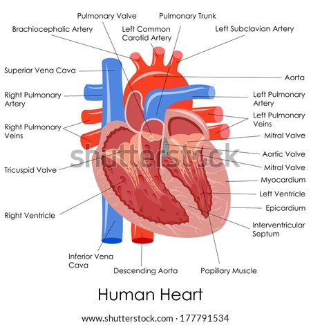 Vector Of The Heart Arteries Diagram Trusted Wiring Diagram