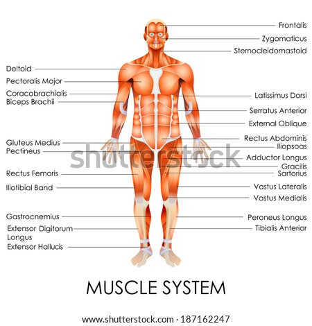 Vector Illustration Diagram Muscular System Vector de stock187162247 ...
