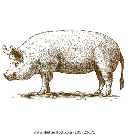 vector illustration of engraving big hog on white background - stock vector