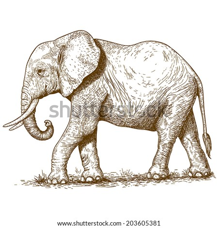 vector illustration of engraving elephant on white background