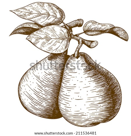 vector illustration of engraving pear and leaf on the branch on white background - stock vector