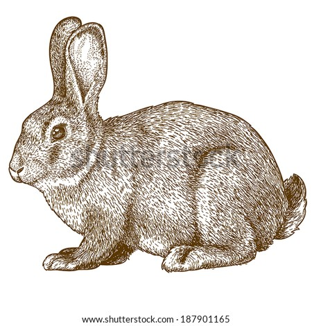 vector illustration of engraving rabbit on white background - stock vector