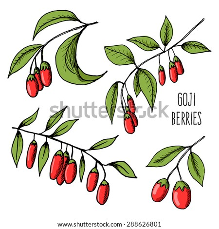 Vector illustration of fresh Goji Berries (Wolfberries) with leaves on white background. Hand drawn sketch of goji berries - stock vector