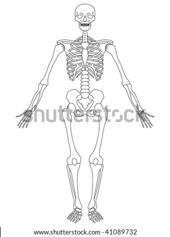 vector illustration of front view of male skeleton - stock vector