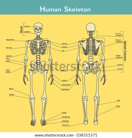 Vector illustration of human skeleton. Didactic board of anatomy of bony system with labels.