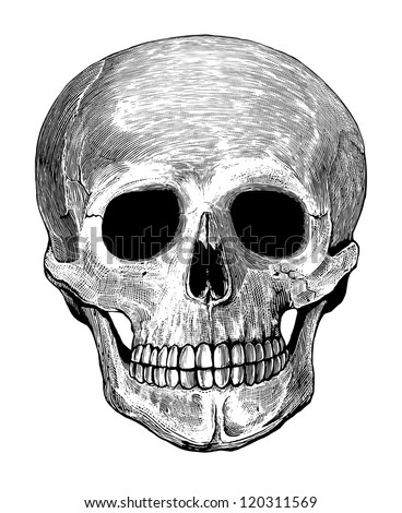 Vector illustration of human skull in engraved style    Isolated, grouped, transparent background - stock vector