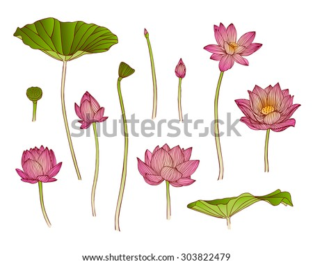 Vector illustration of lotus flower - stock vector