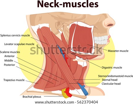 Vector Illustration Neck Muscles Anatomy Stock Vector Hd Royalty