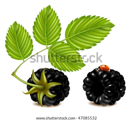 Vector illustration of ripe blackberries (dewberry) with green leaves and ladybird. - stock vector
