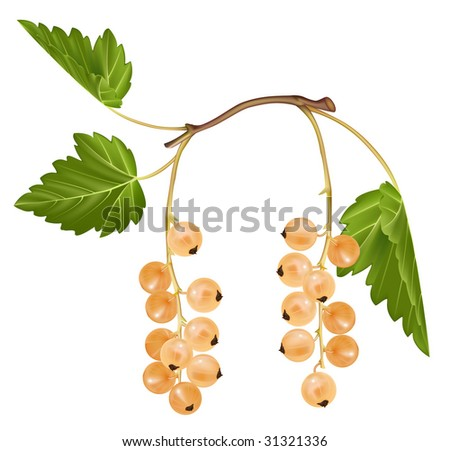 Vector illustration of white currant - stock vector