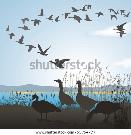 Vector illustration of wild geese to lake shore - stock vector
