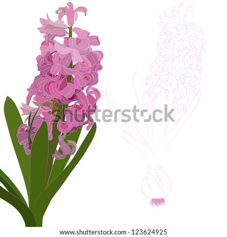 Vector illustration. Pink hyacinth. Isolated contour of the flower on a white background. - stock vector