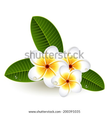 Vector illustration - Plumeria flowers on white - stock vector