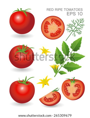 Vector illustration. Red ripe fresh realistic tomatoes with leaves, blossom and dill isolated on white background - stock vector