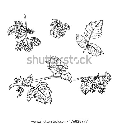 Vector Illustration Set Hand Drawn Raspberry Stock Vector ...