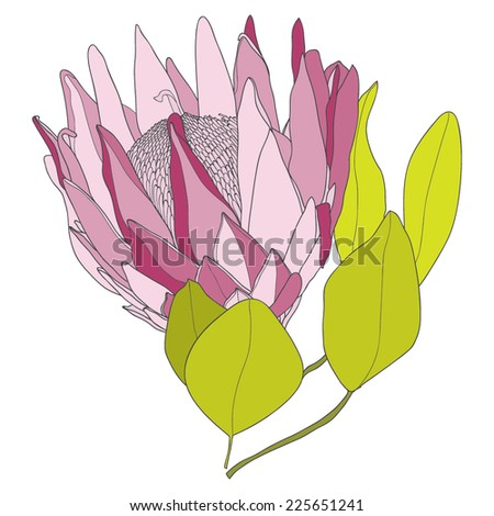 Vector illustration with protea - stock vector