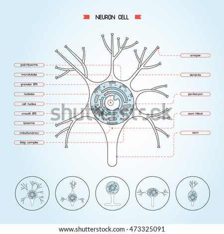 Vector Isolated Neurone Cell Biology Diagram Stock Vector 2018