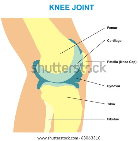 VECTOR - Knee Joint Cross Section - Showing the major parts which made the knee joint (Femur, Cartilages, Patella, Synovia & Tibia) - For Basic Medical Education - Also for clinics - stock vector
