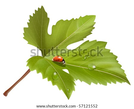 Vector. Ladybird on leaf with water drops. - stock vector