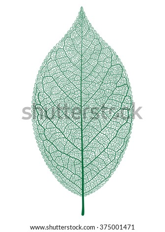 Vector leaf isolated and skeleton. - stock vector