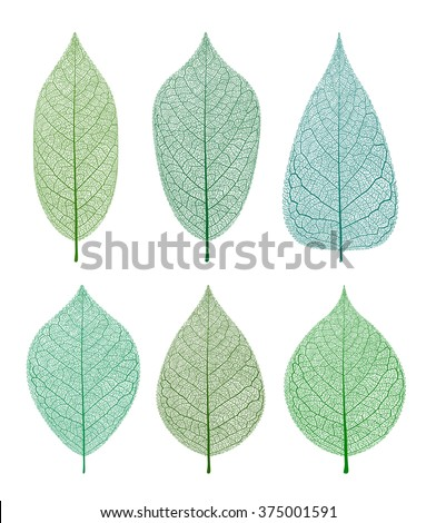 Vector leaves isolated and skeleton. - stock vector