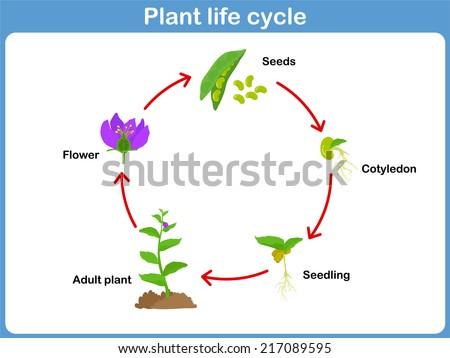 Life Cycle on Lima Bean Clipart Worksheet Kindergarten