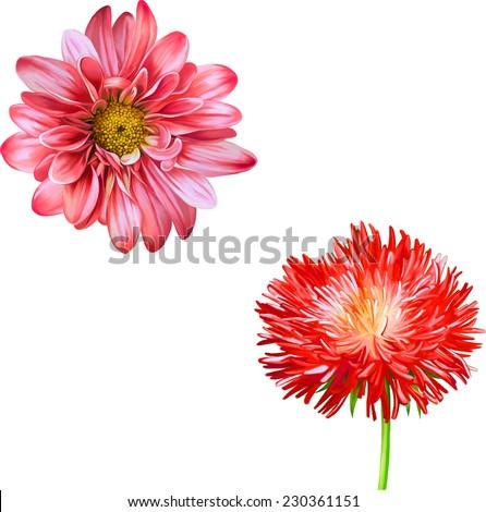 Vector Mona Lisa flower, Pink flower, Red Thistle flower, aster flower, Spring flower.Isolated on white background. - stock vector