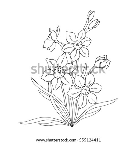 vector monochrome contour illustration of daffodil narcissus flower