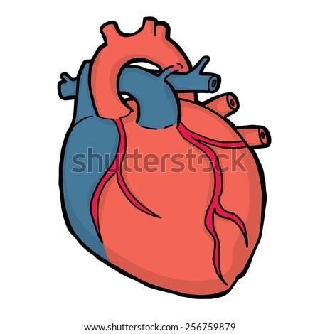 vector of heart anatomy - stock vector