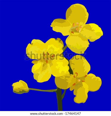 Vector of rapeseed flowers. Rapeseed is grown to harvest rapeseed oil.