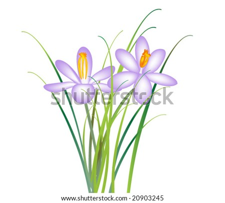 vector of two crocus flowers on white background