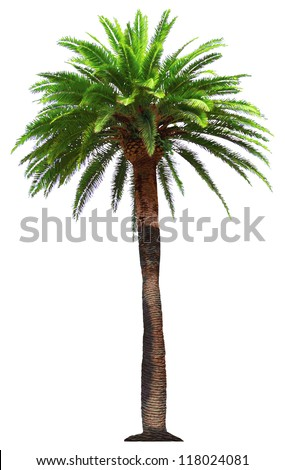 vector palm tree - stock vector