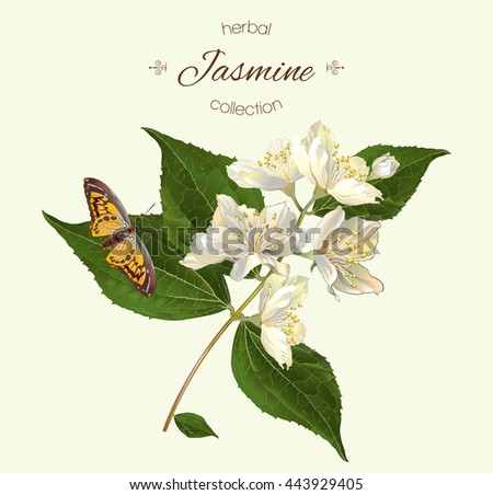 Vector realistic illustration of jasmine branch with butterfly. Isolated on light green background. Design for tea,essential oil, natural cosmetics, aromatherapy.Can be used as summer design element. - stock vector