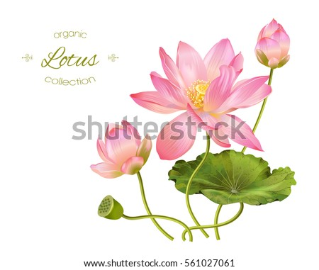 Vector realistic illustration of lotus flowers and leaves isolated on white background.. Design for natural cosmetics, health care and ayurveda products, yoga center.