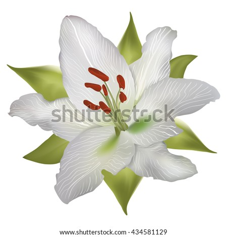 Vector realistic lily white isolated with green leaves - stock vector