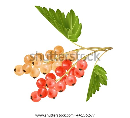 Vector red and white currant. Ripe berries. - stock vector