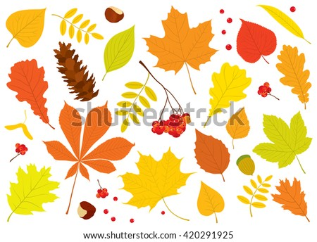 Vector set of different, isolated autumn tree leaves, Rowan berries, acorn, chestnuts and pine cone on white background. - stock vector