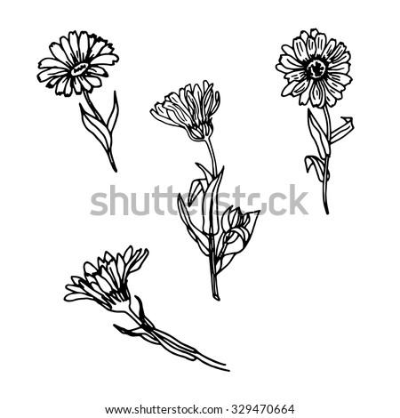 Vector Set Hand Drawn Calendula Leaves Stock Vector ... Calendula Flower Drawing
