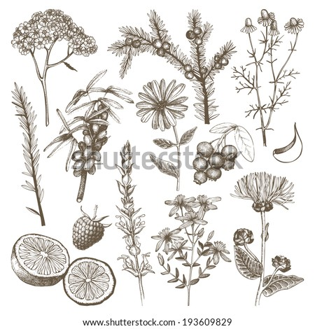 Vector set of hand drawn medical herbs and plants isolated on white - stock vector