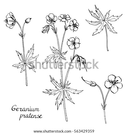 vector set of hand drawn medical herbs line drawing plants geranium flowers buds