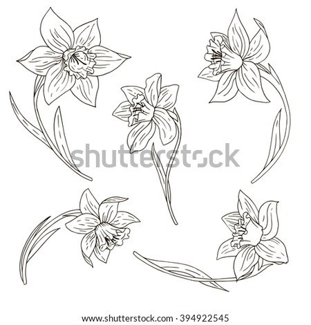 vector set of ink drawing narcissus, hand drawn floral elements