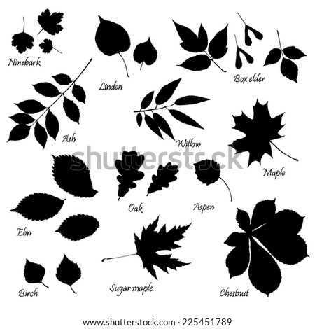Vector set of leaves silhouettes with hand-written common names of trees and bushes on white background. Linden, ash, oak,maple, box elder, sugar maple, chestnut, birch, elm, willow, aspen, ninebark. - stock vector
